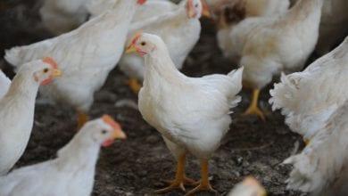 """""""Strozza il pollo"""": il programma taiwanese sul sesso 'manuale' [VIDEO]"""