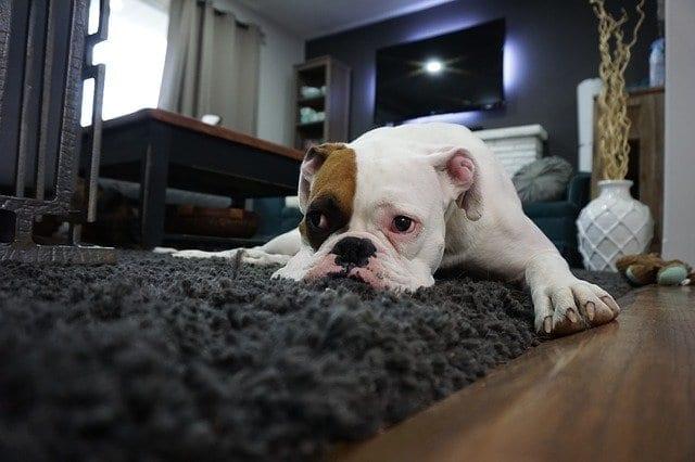 Marito accusa il cane della puzza disgustosa: quando la moglie lo scopre...