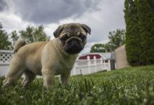 cane Carlino più piccolo del mondo